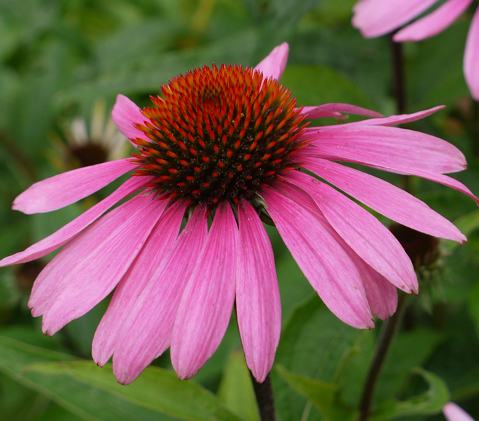 Picture of Echinacea Flower