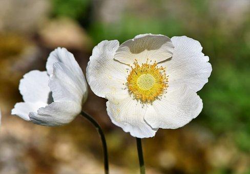 Photo of Anemone