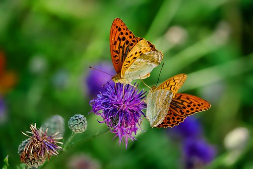 Image of Fritilliary with butterflies